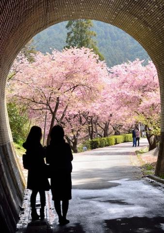 河津桜トンネル.jpg